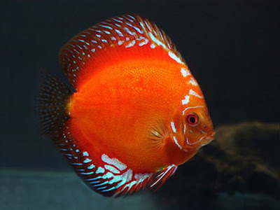 Harga Ikan Discus Red Marlboro