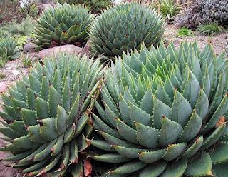 ว่านหางจระเข้เกลียว (Spiral Aloe) หายาก