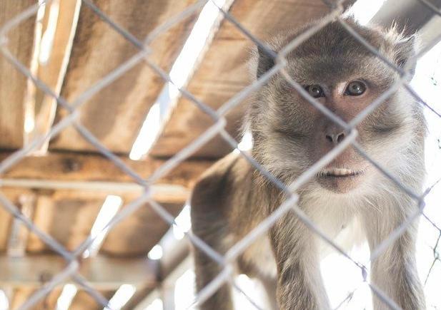 Vergognoso negli USA! Scimmie torturate con gas di scarico da Bmw Daimler e Volkswagen