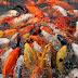 Jenis Ikan Koi Lokal yang Populer