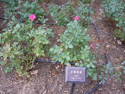 兵庫県伊丹市・荒牧バラ公園 ときめき