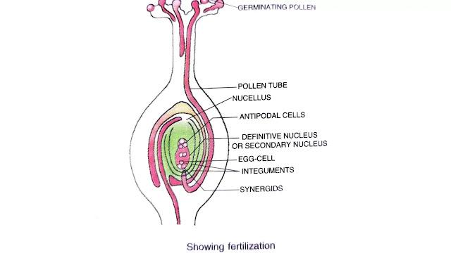 process of fertilization