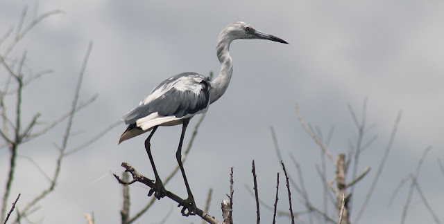 Joven Great Blue Heron
