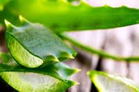 Aloe Vera (Sarısabır) Bitkisi Fotoğrafı