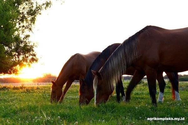 Kebutuhan Gizi yang Baik Untuk Pakan Kuda