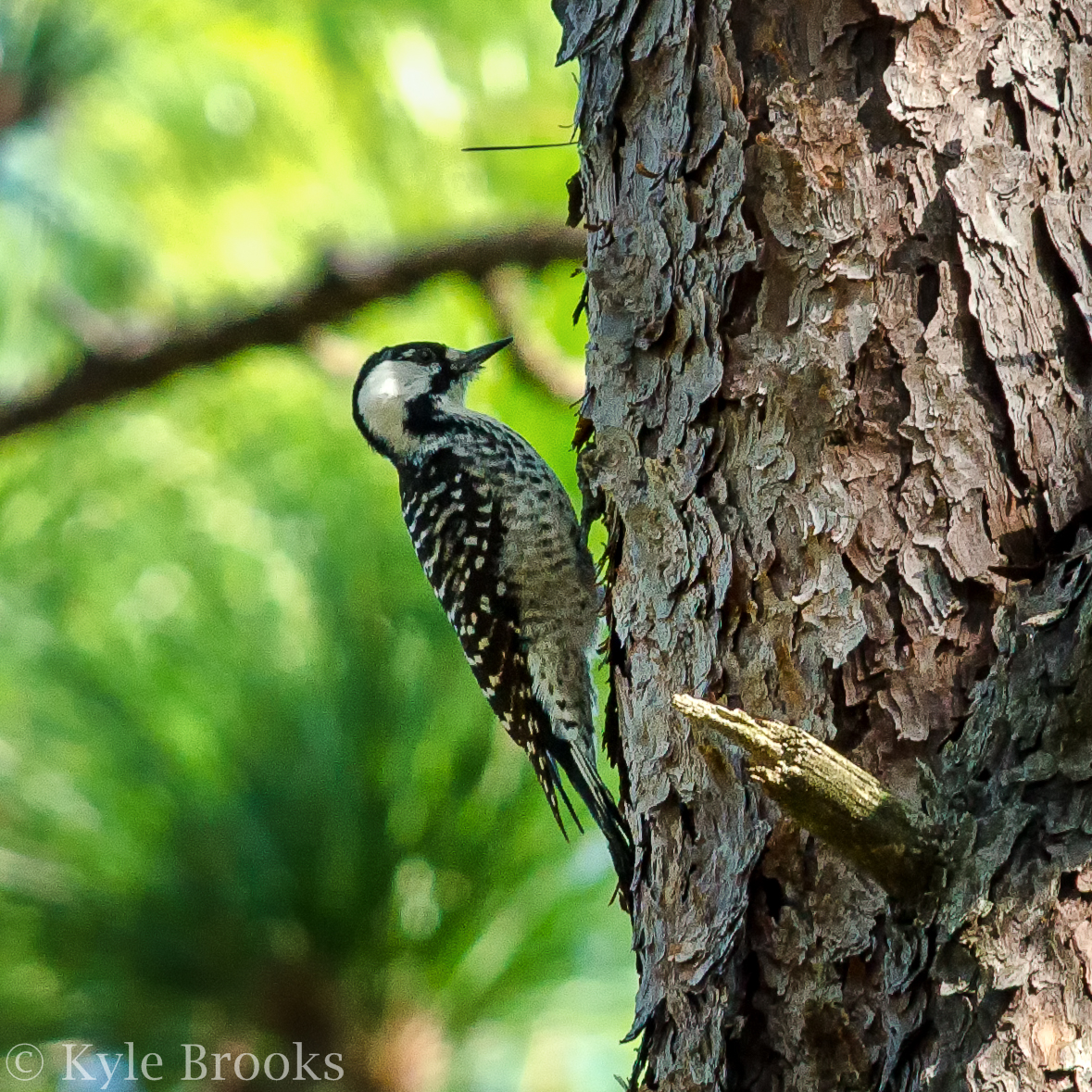 Red-Cockaded Woodpecker and Longleaf Pine Forests