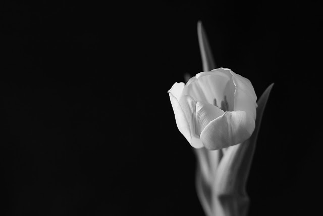 Monochrome medium shot of tulip on black background. Monochrome.
