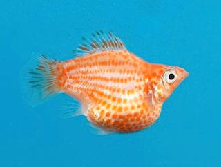 Cara Budidaya dan Ternak Ikan Hias Molly Balon Mudah dan Menguntungkan