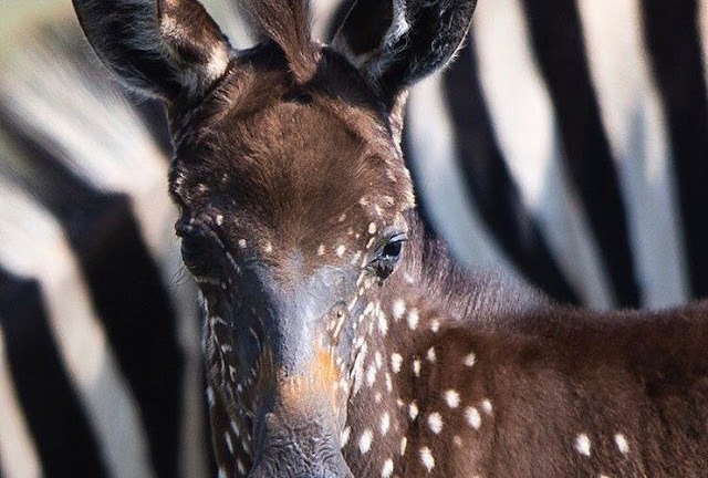 В резервата Масаи Мара се роди зебра на точки