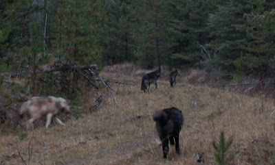 Encountering wolves on a morning walk