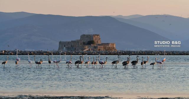 Γέμισε φλαμίνγκο το Ναύπλιο - Δεκάδες ψηλόλιγνοι επισκέπτες έκλεψαν την παράσταση