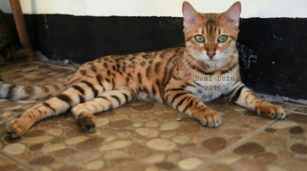 Kucing Bengal Indonesia Sold Jual Indukkan Kucing Bengal