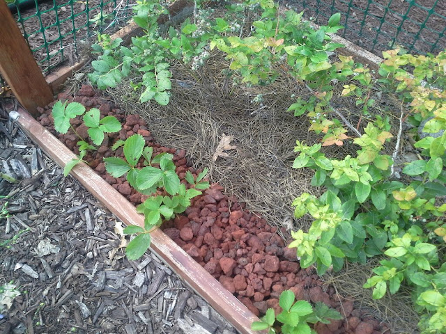 Lava Rock Mulch to protect strawberries from slugs