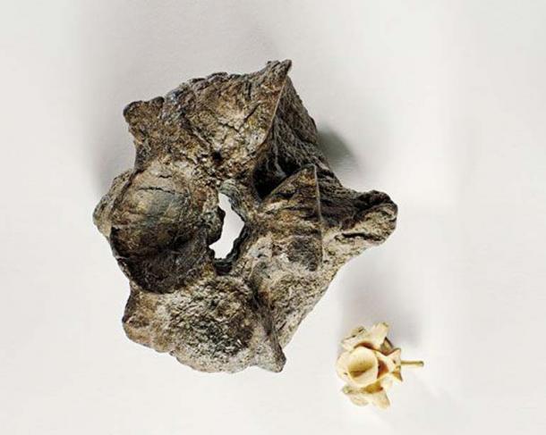 Una vertebra di Titanoboa nanizza quella di un moderno anaconda di 17 piedi ( Brian Tietz )