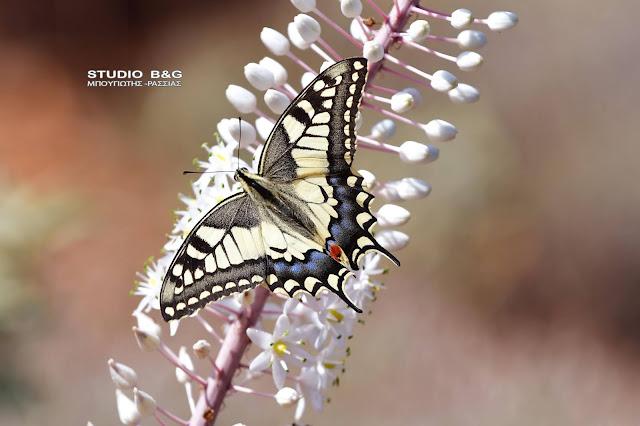 Η φωτογραφία της ημέρας: Papilio Machaon - Μια πανέμορφη πεταλούδα με ελληνικό όνομα