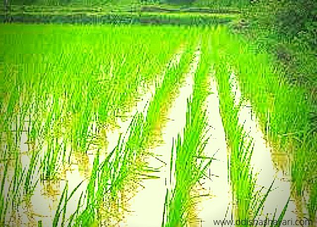Rice plants of Agriculture