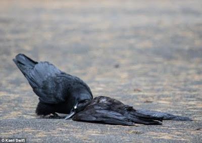 Tìm hiểu lý do tại sao quạ lại giao phối với xác đồng loại