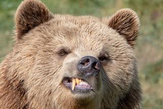 O Grande Urso Pardo em Perigo