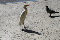Cattle egret and Rock pigeon waiting for food handouts, Whole Foods, Kailua - © Denise Motard