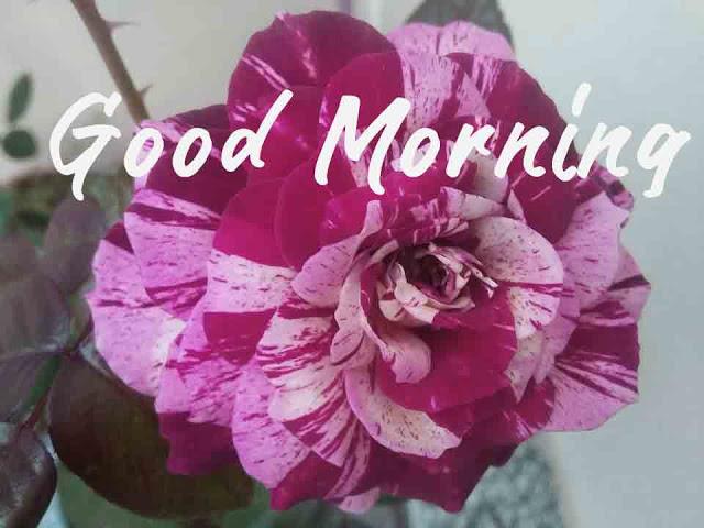 good morning hd images rose