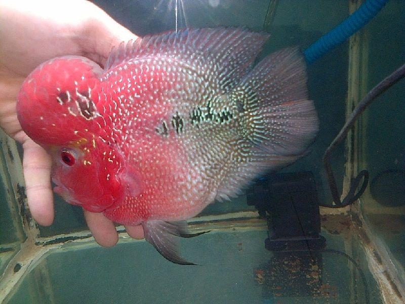 Gambar Dan Foto Ikan Louhan Bonsai, Bentuknya Lucu Tapi Cantik