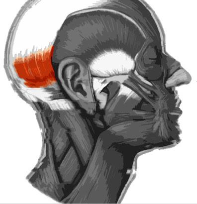 Imagen resaltada de color del Vientre occipital