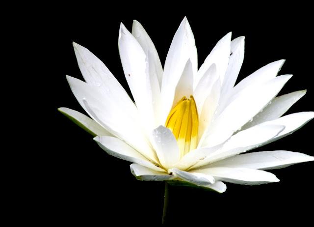 Bunga Teratai Putih Cantik