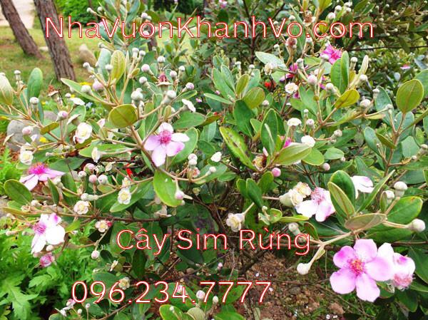 Đăng tin rao vặt: Những công dụng tuyệt vời mà Sim Rừng mà bạn nên biết Cay-sim-rung-khanh-vo-3