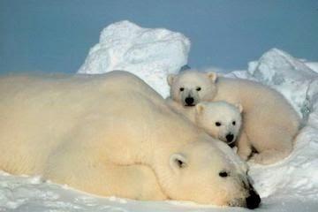 beruang kutub tidur