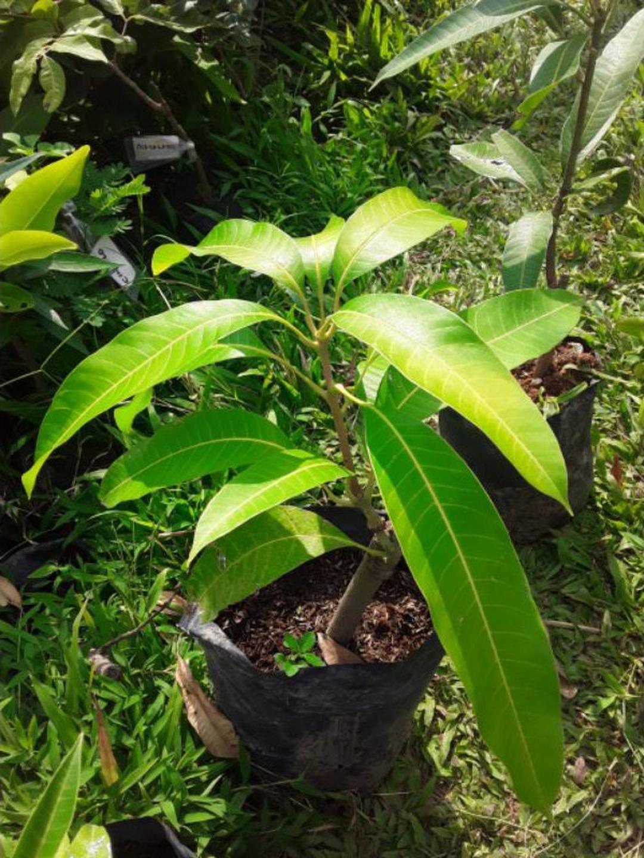 Buruan Borong! bibit buah mangga alpukat Kota Bogor #jual bibit buah buahan