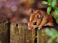 Banyak Tikus di Rumah Anda? Coba 6 Tanaman Ini, Efektif Mengusir Tikus