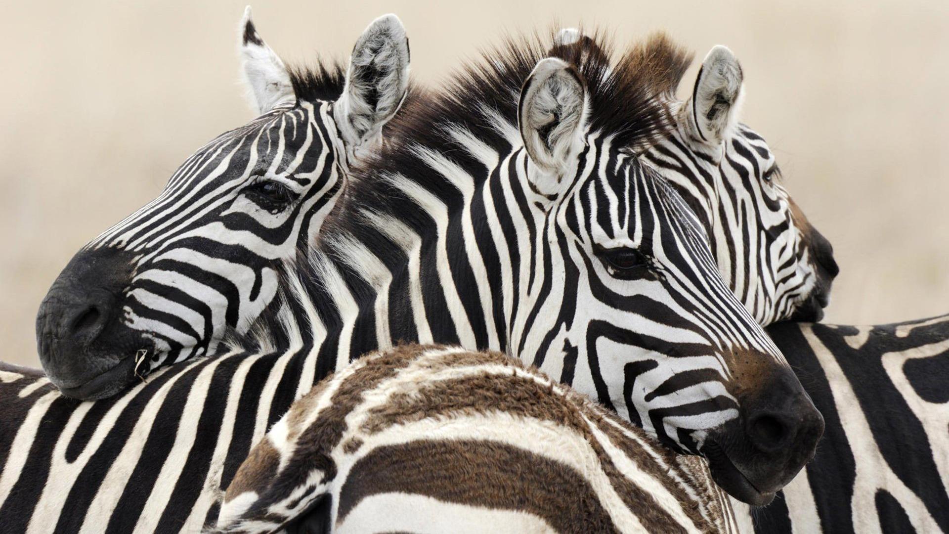 wallpaper: Zebra HD Wallpapers