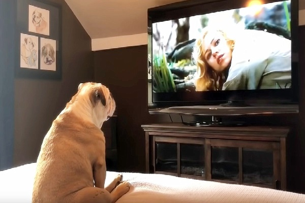 Bulldog Frantic Seeing Actress In Trouble