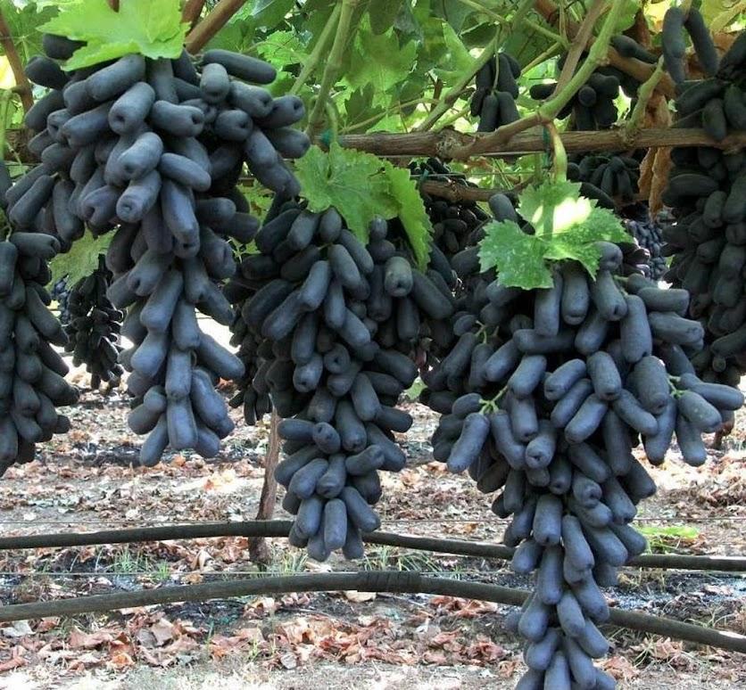 Bibit bibit anggur import MONDROP tanaman buah anggur mondrop BISA COD Kalimantan Utara