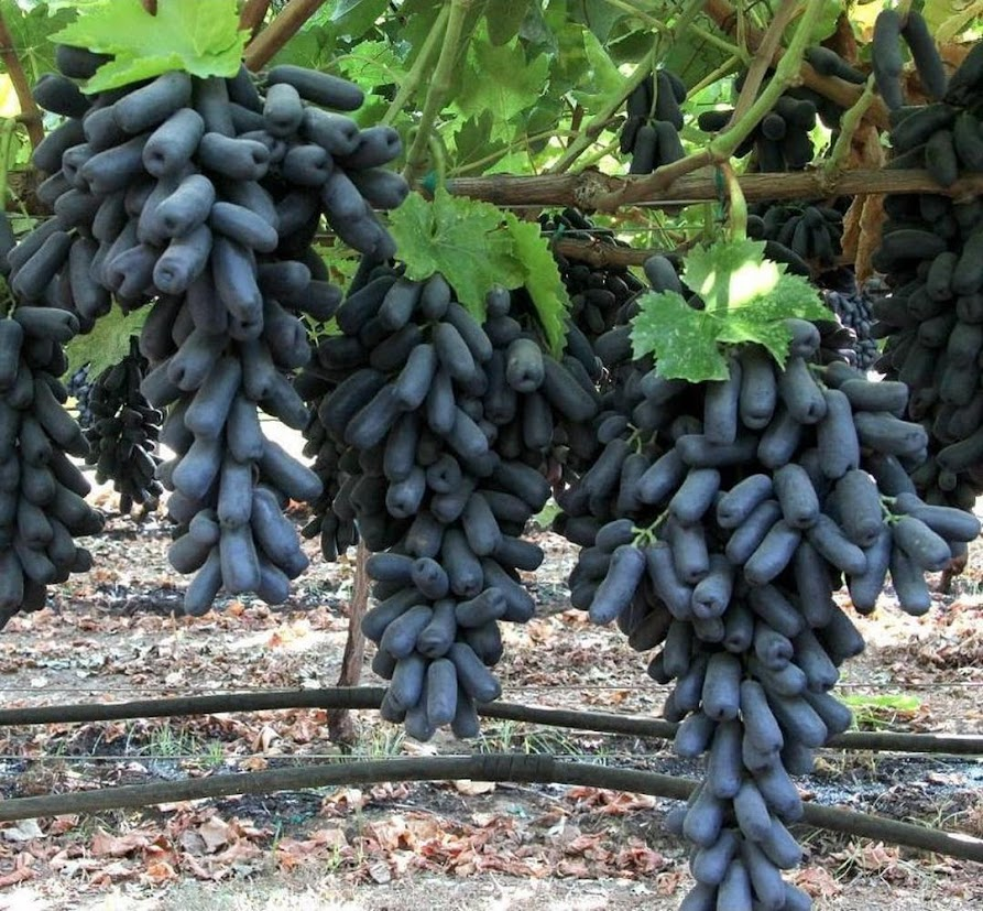 Bibit bibit anggur import MONDROP tanaman buah anggur mondrop BISA COD Jawa Tengah