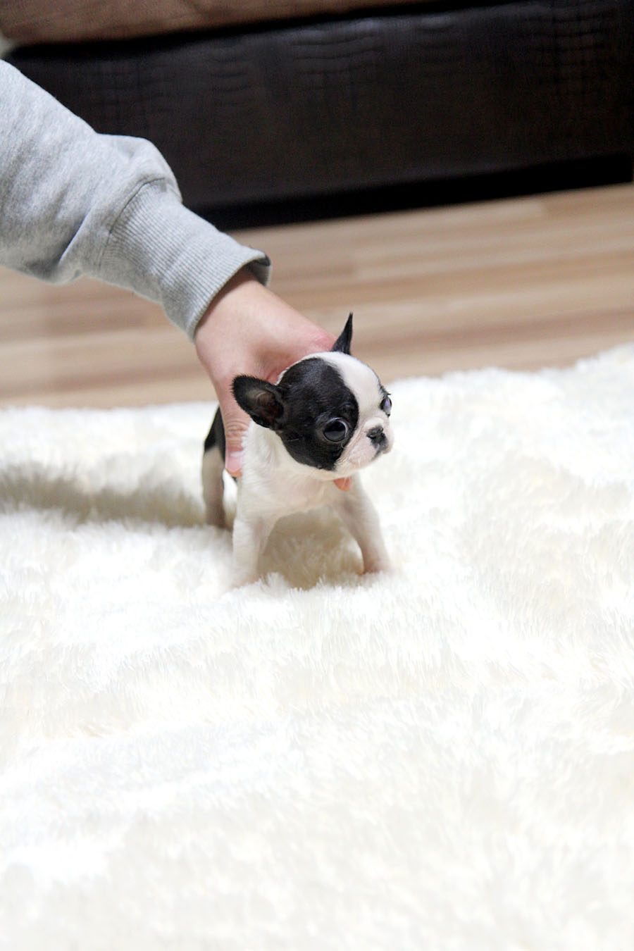 teacup french bulldog for sale teacup puppy teacup puppy for sale french bulldog bianco 864