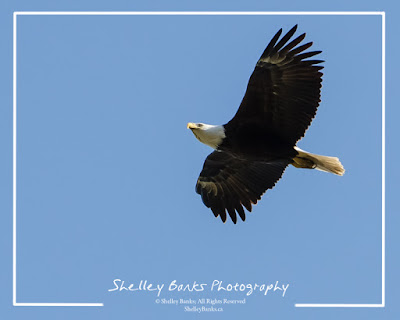 Bald Eagle  © Shelley Banks, All Rights Reserved.