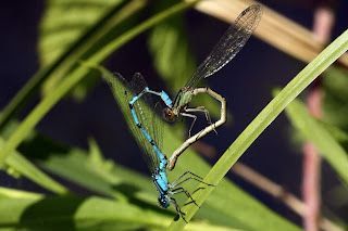 """Common blue damselflies (Enallagma cyathigerum) female dull green form mating wheel"" by Charlesjsharp - Own work, from Sharp Photography, sharpphotography. Licensed under CC BY-SA 4.0 via Wikimedia Commons - https://commons.wikimedia.org/wiki/File:Common_blue_damselflies_(Enallagma_cyathigerum)_female_dull_green_form_mating_wheel.jpg#/media/File:Common_blue_damselflies_(Enallagma_cyathigerum)_female_dull_green_form_mating_wheel.jpg"
