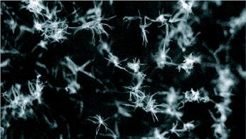 Isaria fumosorosea  hyphal growth