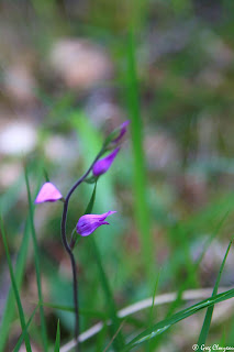 céphalanthère rouge (Cephalanthera rubra), Fontainebleau