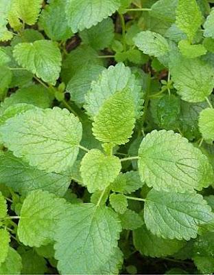 Lemon balm medicinal plant