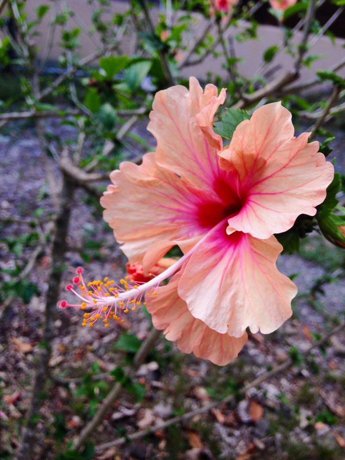 la flore et les hibiscus en martinique