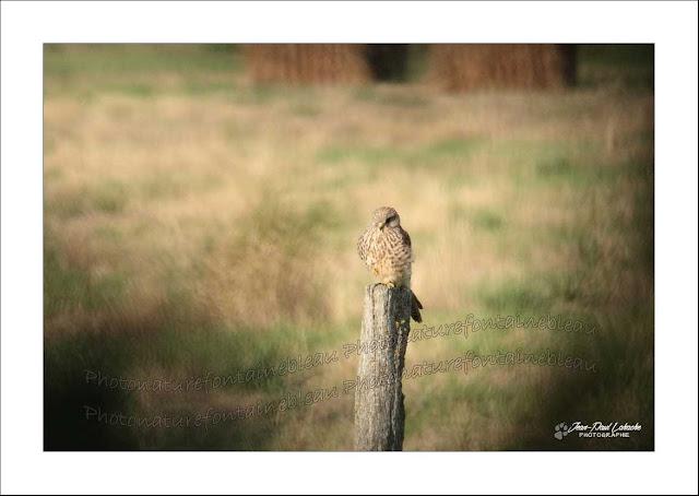Un faucon crécerelle et perché sur un piquet de parc