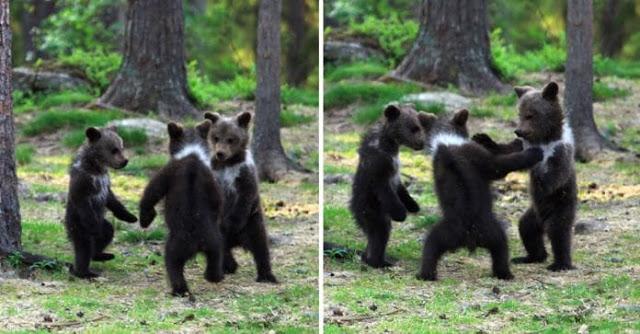 Homem flagra três ursos dançando no meio da floresta, pensou que era sua imaginação 1