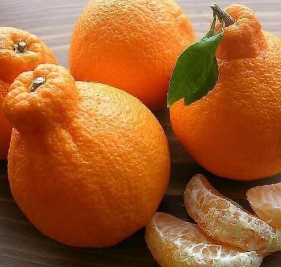 bibit jeruk dekopon unggul Jawa Timur