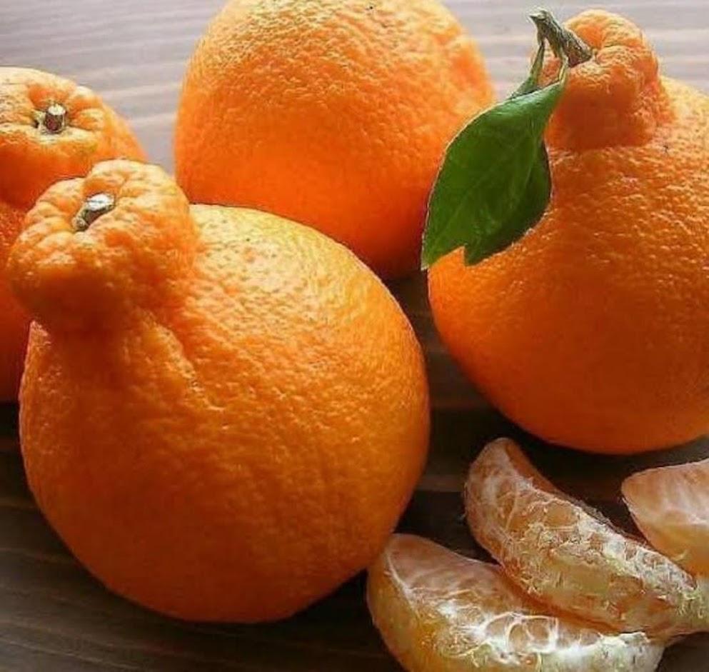 bibit jeruk dekopon unggul Sumatra Barat