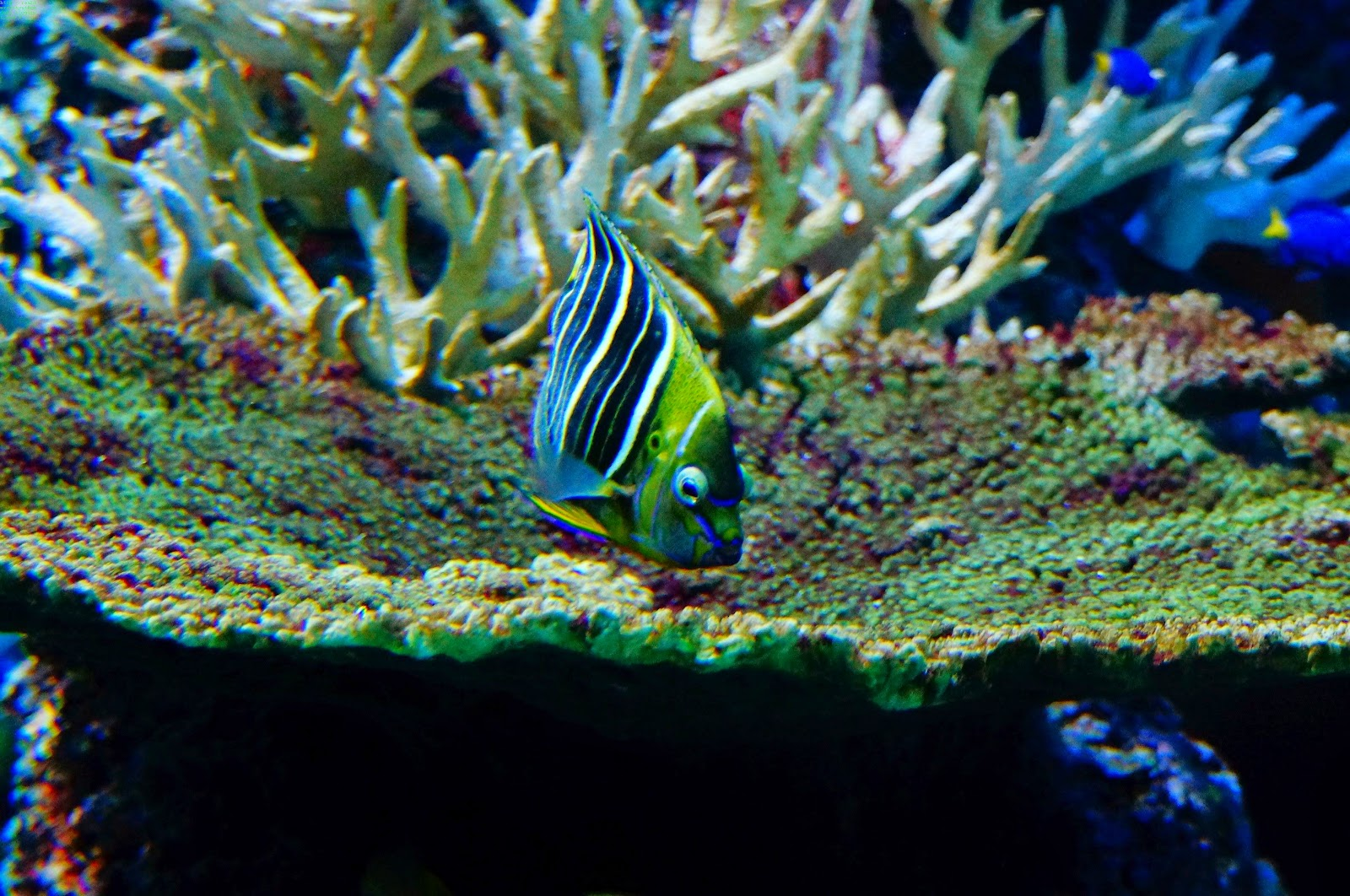 Angelfish eating corral, S.E.A. Aquarium, Sentosa, Singapore