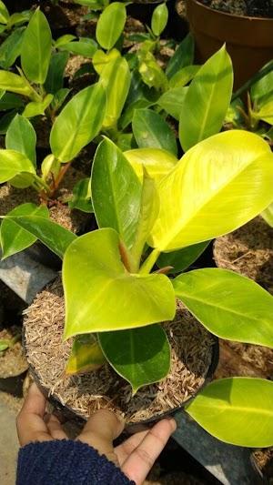 Tanaman Hias Philodendron Moonlight Tanaman Philo Lemon #Btsikatancinta #Jualbibit