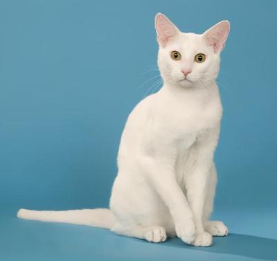 Jenis Ras Kucing Russian White