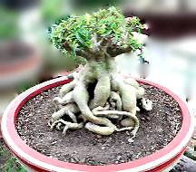 Adenium, Adenium plant, Adenium seeds, bonsai adenium, bonsai seeds